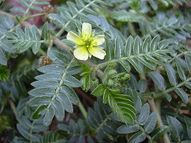 Tribulus Terrestris para la impotencia sexual